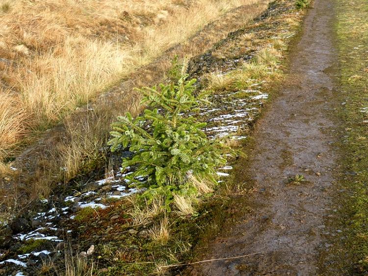 self seeded xmas tree