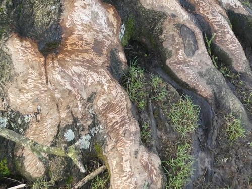 sheep scraped root