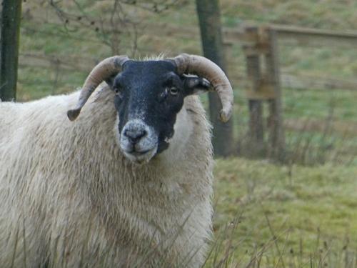 sheep with horns becks