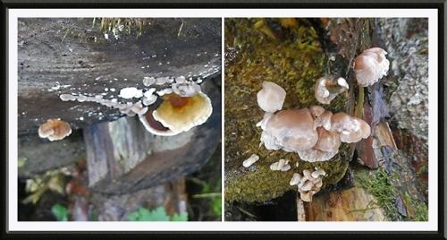 siggy fungus becks