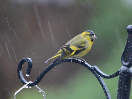 siskin in rain