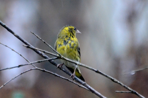 siskin with head screwed on