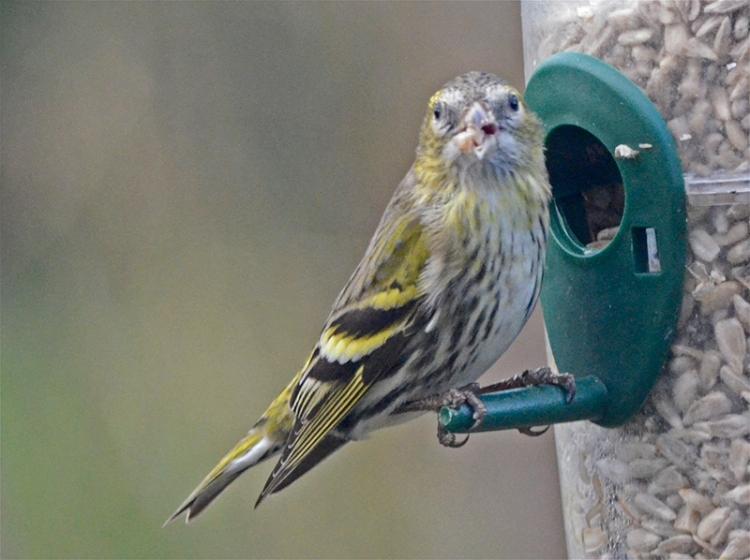 sisking on feeder