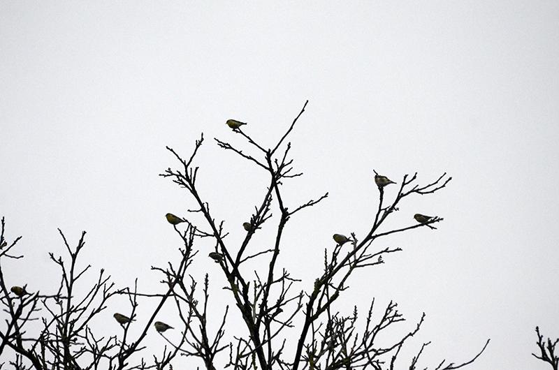 siskins in walnut tree