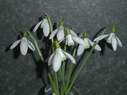 snowdrops in jar