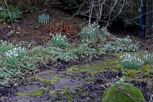 snowdrops on back path