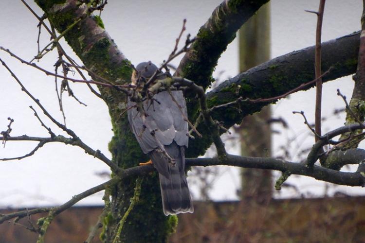 sparrowhawk in plum tree