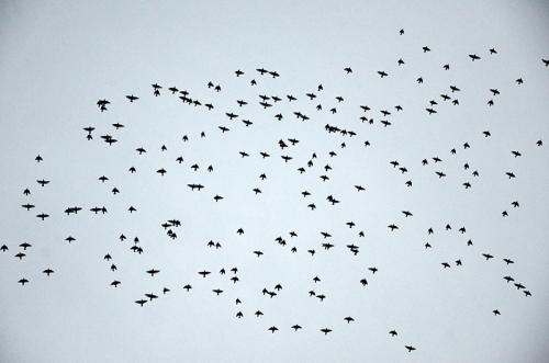 starlings over esk 2