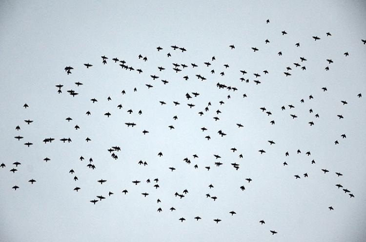 starlings over esk 2