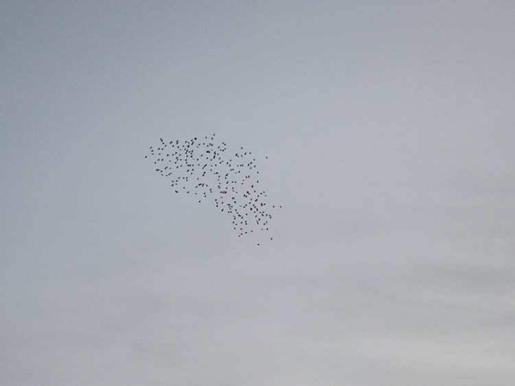 starlings over esk