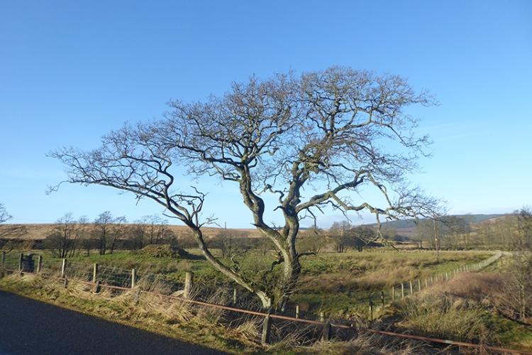 tree at wauchope SH