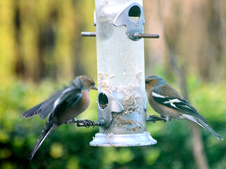 two chaffinch little seed
