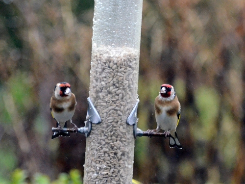 two gloomy goldfinches