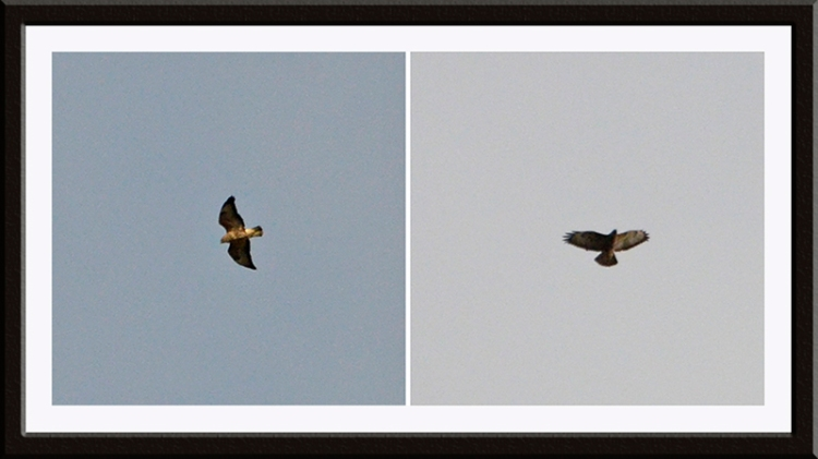 two high buzzards