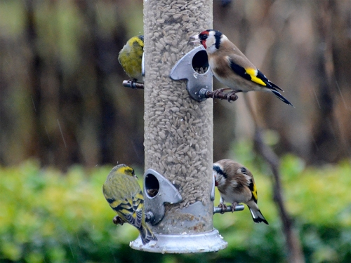 two siskins two goldfinches