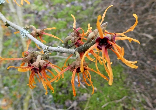 westerhall witch hazel