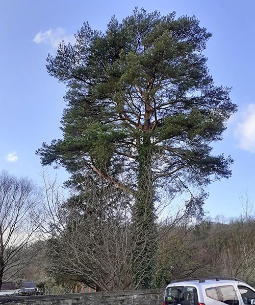 Ystradgynlais tree