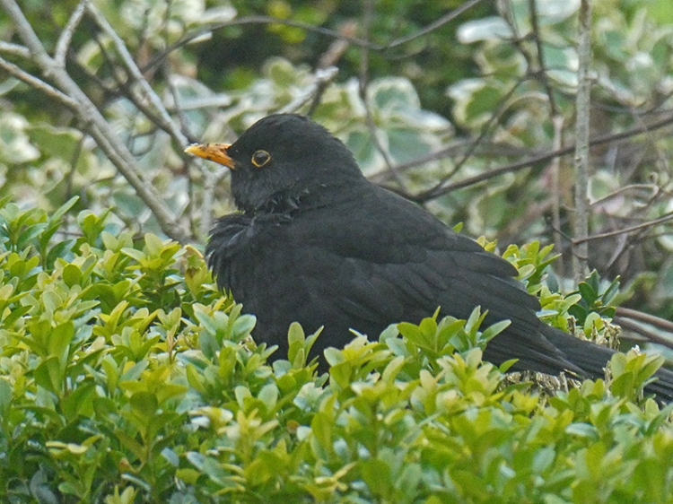 blackbird resting on hedge