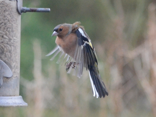 buffeted chaffinch
