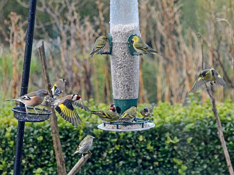 busy feeder chaffinch goldfinch siskin 2