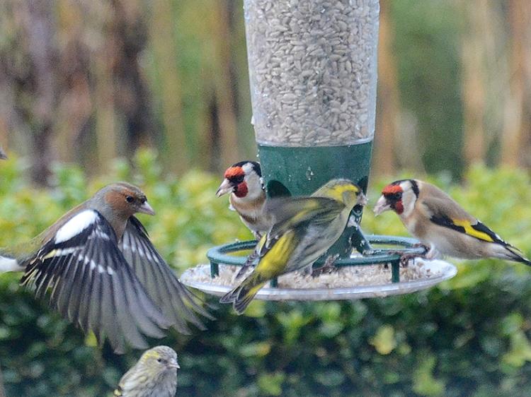 busy feeder chaffinch goldfinch siskin