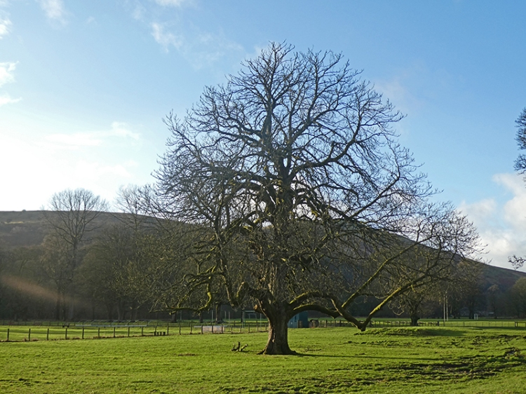 castleholm tree