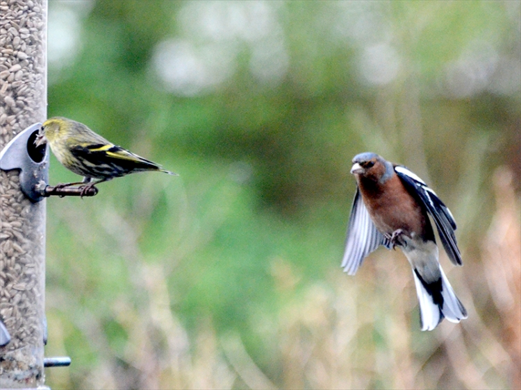 chaffinch approaching siskin