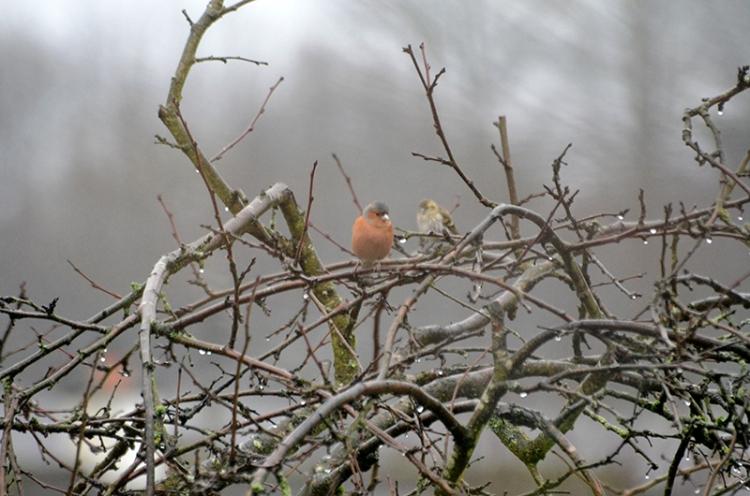 chaffinch in wet plum tree