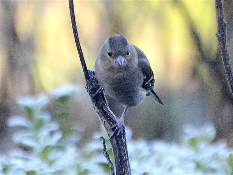 chaffinch on stalk