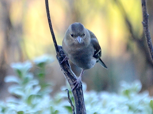 chaffinch on stalk