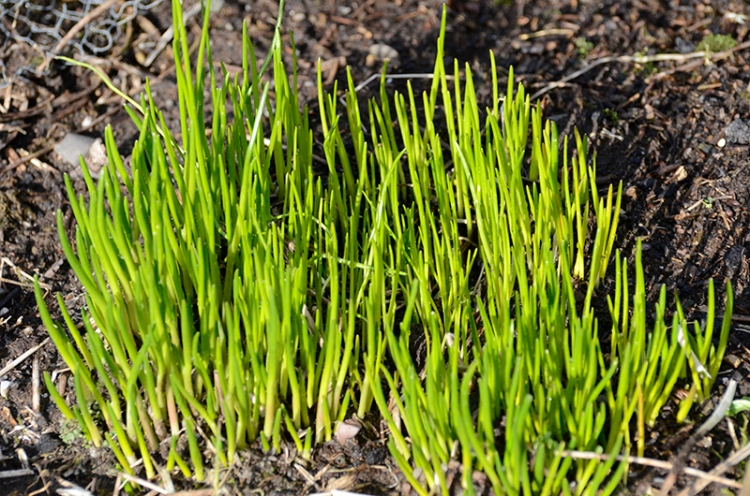 chives early