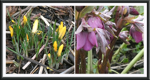 crocus and hellebore promise