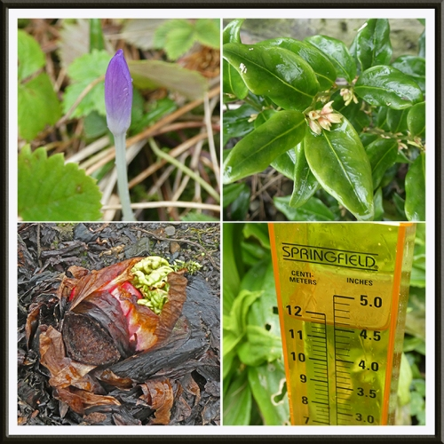 crocus, sarcoccoca, rhubarb and rain gauge