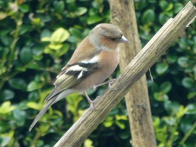 cross chaffinch