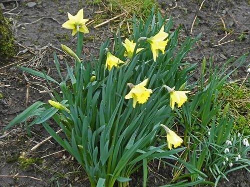 daffodil in Dennis