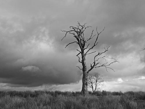 dead tree bw