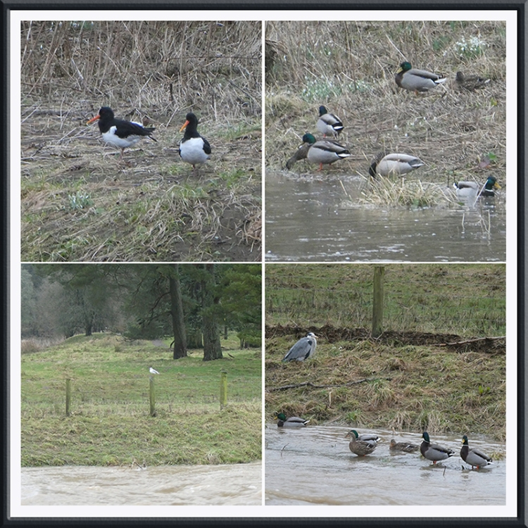 ducks and oyster catchers