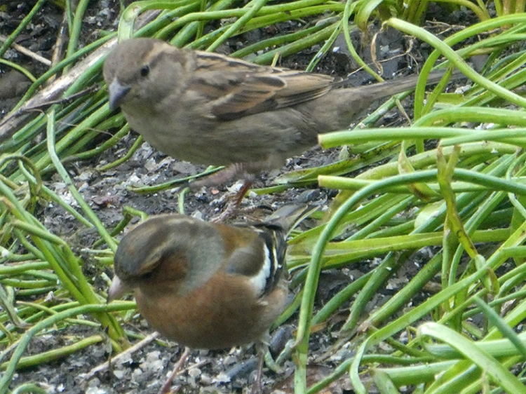 dunnock and chaffinch
