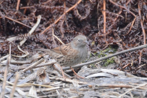 dunnock on plants