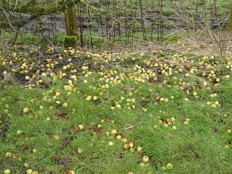 fallen apples becks track
