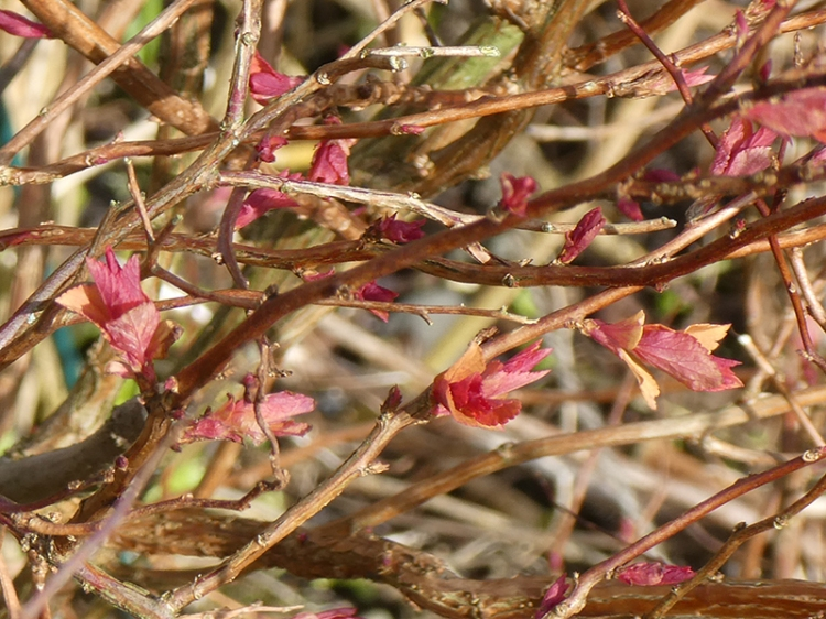 first spirea leaves