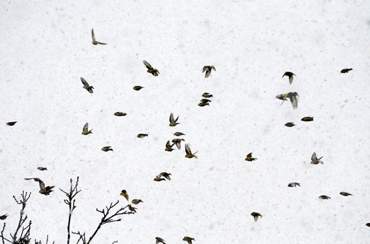 flight of soskins