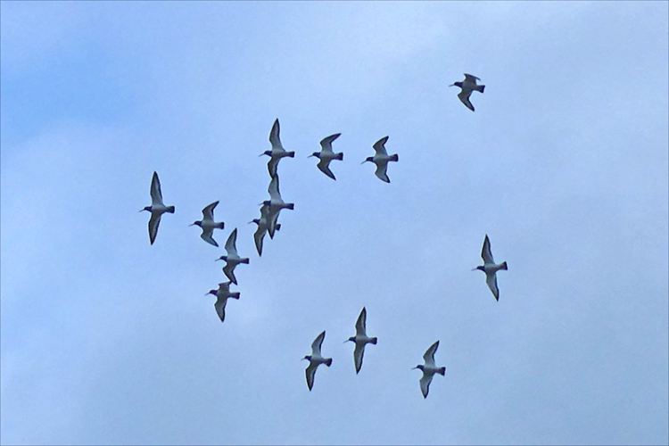 flock of oyster catchers