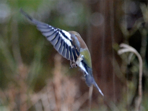 flying chaffinch hiding