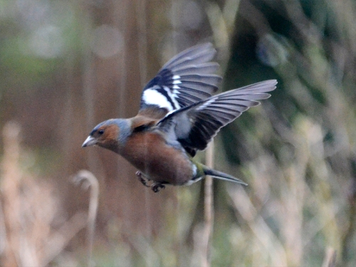 flying chaffinch with streaks