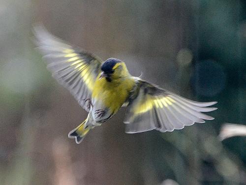 flying siskin