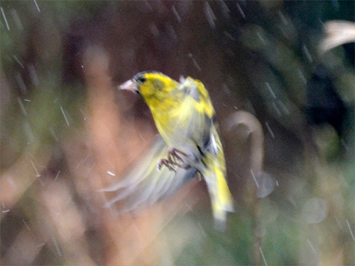 flying siskin rain