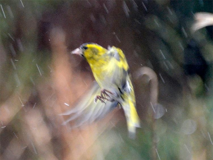 flying siskin rain