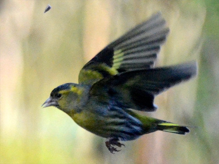 flying siskin with seed