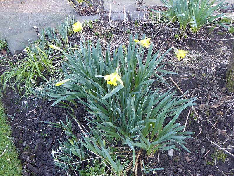 four daffodils